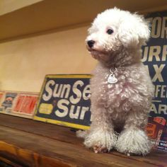 Image result for several bichon poodles in a group
