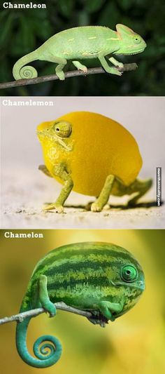 Bet you didn't know about these Chamelons