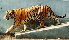 Salugarapark plans- Tiger bear leopard safaris tourist lodge and homestays on cards   Snehasish at the Bengal Safari Park on Tuesday. The male tiger that was brought from Odisha along with a female would soon be released in an enclosure where tourists can see them. Picture by Passang Yolmo  The state government has planned a number of projects including tiger leopard and bear safaris and tourist lodges in its year-old park near Salugara.  The Bengal Safari Park that was inaugurated by chief…