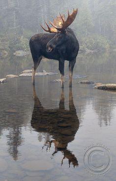 A moose in a lake. # A moose in a lake. # A moose in a lake. # A moose in a lake. # A moose in a lake. # A moose in a lake. # A moose in a lake. # A moose in a lake. # A moose in a lake. Nature Animals, Animals And Pets, Cute Animals, Nature Nature, Wild Nature, Wild Animals, Wildlife Photography, Animal Photography, Beautiful Creatures