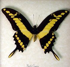 Museum Quality Bumble Bee Swallowtail Butterfly Archival Frame 162