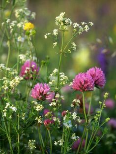 Trifolium pratense  Sunny free draining  Peak July - Aug  Works well in wildflower meadows