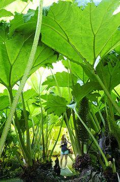 Huge Gunnera Manicata plants at Trebah Gardens, Cornwall Landscaping Plants, Garden Plants, Indoor Plants, House Plants, Unusual Plants, Exotic Plants, Tropical Garden, Tropical Plants, Dinosaur Plant