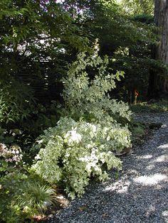 eleutherococcus sieboldianus 'variegatus' shade option---deciduous but beautiful variegation Waterwise Garden, Plants, Shrubs, Trees And Shrubs, Northwest Garden, Container Plants, Cottage Garden, Garden, Shade Garden