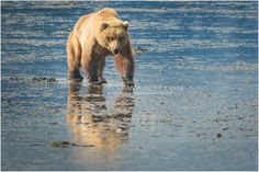SAVE 15% ON ALL ORDERS WITH COUPON CODE PINTEREST16   | Coastal Brown Bear at Lake Clark National Park, Alaska. Photography by award winning wildlife photographer Rob Daugherty from RobsWildlife.com. When quality matters, choose the best. This glossy print masterpiece is available in the following size options: ★ 8 x 10 ★ 11 x 14 ★ 16 x 20 ★ 20 x 30