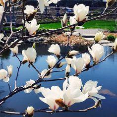 Magnolia Anticipati