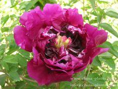Аромат, Фиолетовый, Роза, Цветы, Растения, Китай