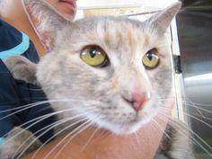 Available for adoption - Farrah is a female cat, Domestic Short Hair, located at Santa Paula Animal Rescue Center in Santa Paula, CA.