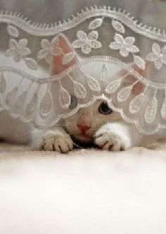 white kitten behind sheer lace curtain with white lace at bottom of curtain
