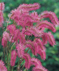 Japanese Burnet: shade zones 4-9, 2ft by 2ft, attractive blue green foliage. perennial