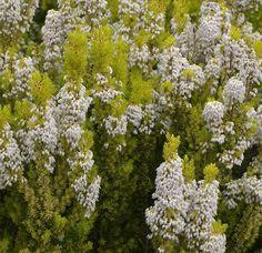 Erica arborea 'Albert Gold' Green Colors, Shrubs, Flora, Leaves, Pipes, Plants, Gold, Gardening, Gardens