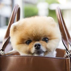 The Best Puppies - Dog Pics - Puppy Photos - Best Dog Funny Pictures Best Puppies, Small Puppies, Dogs And Puppies, Cute Dogs Breeds, Dog Breeds, Dog Photos, Dog Pictures, Jiff Pom, Really Cute Puppies