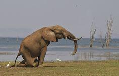 Taken on Rhino Island, Matusadona , Zimbabwe, September Photo by Ken Watkins, via -- Impressive. Elephants, Giraffe, Scottish Fold, Zimbabwe, Lions, Penguins, Followers, Panda, National Parks