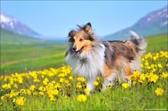 Man's Best Friend - This is my dog Mía, enjoying life in the sun, at Kálfsárkot, our ranch in Ólafsfjörður valley, north Iceland. Mía is a Shetland Sheepdog.  When I shot this she was trying to eat flies while airborne, and you can actually see the fly she ate 2 seconds later a little to the left of her head...  Nikon D300 + Nikkor 17-55/2.8 1/8000, at F/2.8 & ISO 400.  Best Regards! :-)