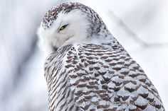 Snowy Owl. These amazing Birds are flocking to Michigan this year in search of food. I hope to see one!