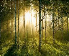 forest  murals for bedrooms | sunlight forest wall mural sunlight forest $ 79 95 12