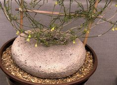 Ibervillea Sonorae- native to Texas and Baja California, caudex can reach 3 feet in diameter. Succulent Bonsai, Cacti And Succulents, Planting Succulents, Cactus Plants, Weird Plants, Unusual Plants, Cool Plants, Moss Plant, Succulent Images