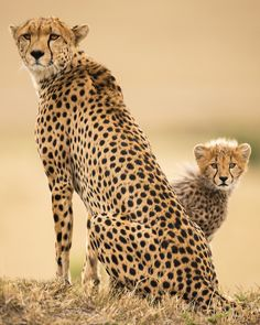 "beautiful-wildlife: "" Familia Guepardo by Igor Altuna "" Nature Animals, Animals And Pets, Beautiful Cats, Animals Beautiful, Big Cats, Cute Cats, Der Leopard, Baby Cheetahs, Gato Grande"