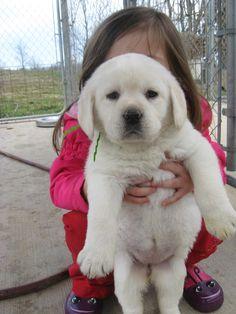 white lab puppy - running partner
