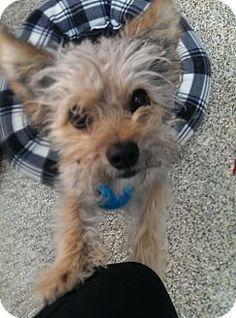 Thousand Oaks, CA - Yorkie, Yorkshire Terrier Mix. Meet Jack, a dog for adoption. http://www.adoptapet.com/pet/13097539-thousand-oaks-california-yorkie-yorkshire-terrier-mix