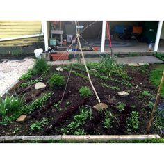 Harvesting spinach already!