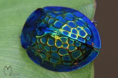 Imperial Tortoise Shell beetle - other angles on the site