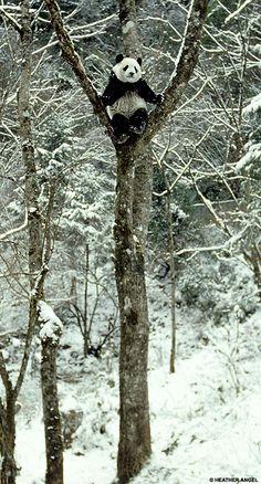Panda in a tree.