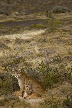 Puma family! Photo by our professional photographer & wildlife guide Diego Araya