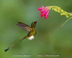 Booted Racket-tail hummingbird inflight