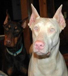 This is going to be the next dog I get!  LOVE Doberman's!!