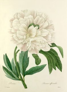 "Botanical Illustration ""Peony"" Print (Beach Cottage Art, White Home Decor) or Flower Wall Art, Antique Redoute Print No. Vintage Botanical Prints, Botanical Drawings, Arte Floral, Botanical Flowers, Botanical Art, Impressions Botaniques, Illustration Botanique, Cottage Art, Garden Cottage"