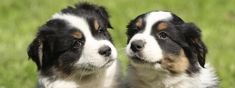 Mini Aussie Country | Toy and Mini Aussie Puppies For Sale | Miniature Australian Shepherd Puppies For Sale