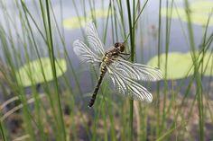 Sudenkorento kuivattelemassa siipiään