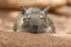I'm sleepy-contented degus!