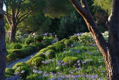 clipped herbs and Agapanthus flowering in a garden on the island of Elba, Italy, by the garden designer Paul Pejrone  (photo by Dario Fusaro)