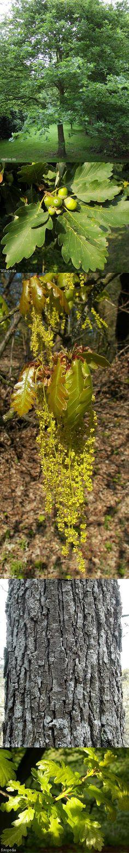 Wintereik - Quercus petraea  hout: goed brandhout (brandt gelijkmatig) schors: looizuur