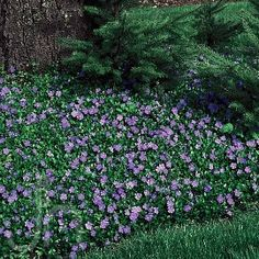 Vinca minor for erosion control on a bank