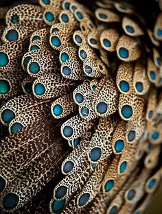 "stayseethesefields: "" Feathers of male Bornean Peacock Pheasant """