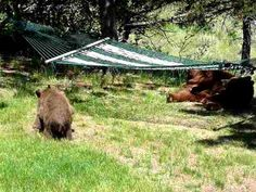 3 little bears and momma play on hammock