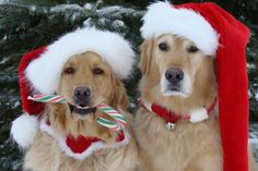 Christmas Gold - festive Golden Retrievers.