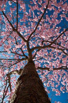 Sakura Sky - Unusually straight trunk for this Easter springtime's beautiful flowering pink blossom cherry tree in Japan. #DdO:) - pinned via Flikr.