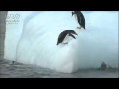 VIDEO: Penguins on an iceberg (funny) Polar Animals, Cute Animals, Penguin Videos, Penguins And Polar Bears, Penguin Party, 3rd Grade Art, Classroom Fun, Antarctica, In Kindergarten