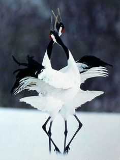 The Dance of the Red-Capped Crane Lovers from Winged Wanderers Board
