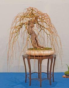 Stunning Willow Bonsai at Noeleanders