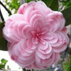 Powder Pink Camelia seeds
