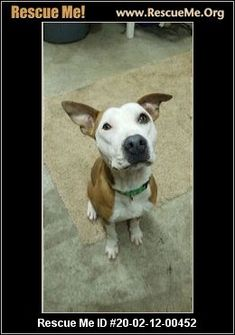 - Wisconsin American Staffordshire Terrier Rescue - ADOPTIONS - Rescue Me! Terrier Rescue, Terrier Dogs, Animal Adoption, Pet Adoption, Post Animal, American Staffordshire, Wisconsin, Pitbulls, Animals