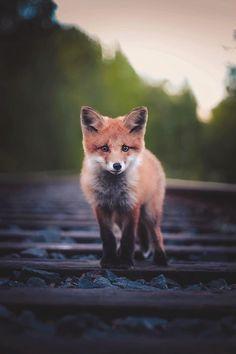 """souhailbog: """" Little fox By Konsta Punkka """""""