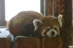 Red panda at Chausuyama Zoo in Nagano Prefecture, Japan.
