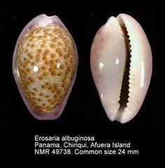 Erosaria albuginosa (Gray, 1825)