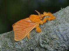 Acraga Coa Moth